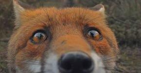 В заповеднике приморского края лисы попались на фотоловушку