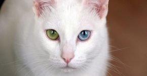 Коллекционный кот по цене подержанного авто