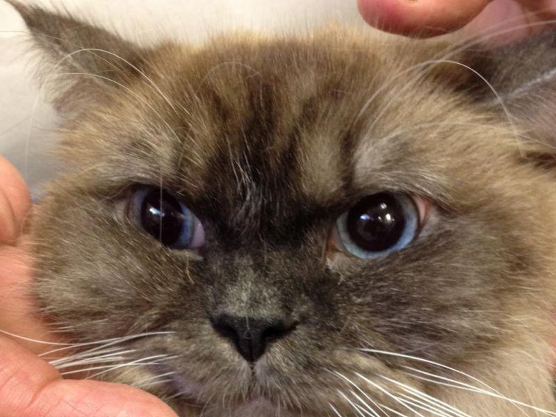 Почему у кошки постоянно расширены зрачки, что делать