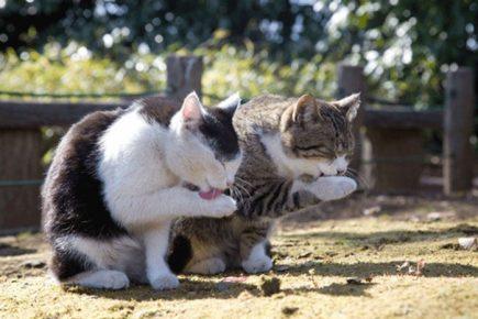Две кошки умываются