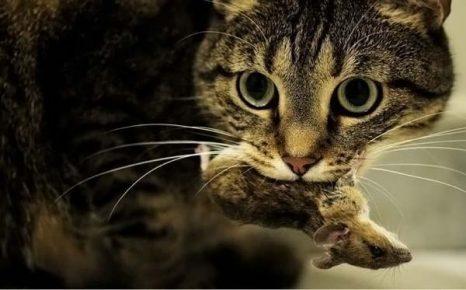 Кошка с мышью в зубах