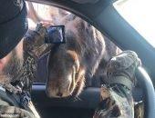 Любопытные лоси заглянули в машину к проезжающим туристам