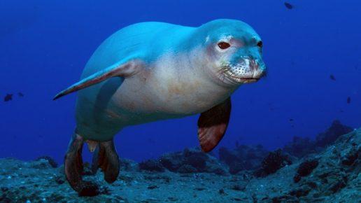 Карибский тюлень