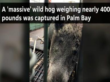 Кабан из Флориды