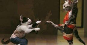 Коты каратисты