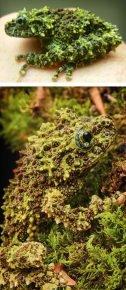 Лишаистый веслоног или мшистая лягушка