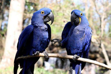 Попугаи макао