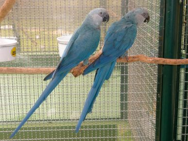 Голубой ара (Спикса)