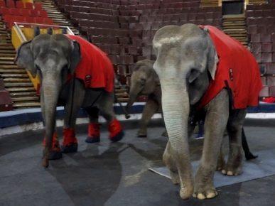 На репетиции слоны выходят в попонах и специальных «валенках»