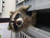 Побег удался: енот вызволил свою подругу из клетки
