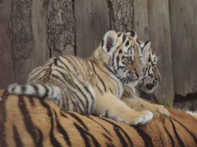 Тигрёнок на маме