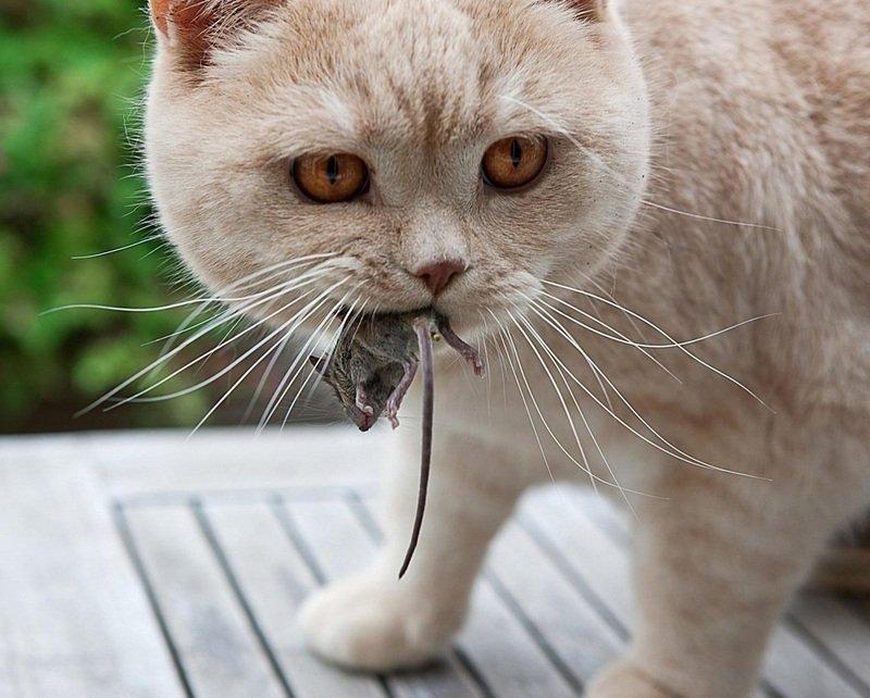 Почему кот приносит мышей хозяину