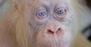 Единственный в своём роде: орангутанг-альбинос теперь на свободе