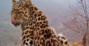 В Национальном парке Приморья фотоловушка засняла четырёх редких леопардов