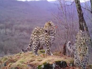 дальневосточный леопард на фотоловушке