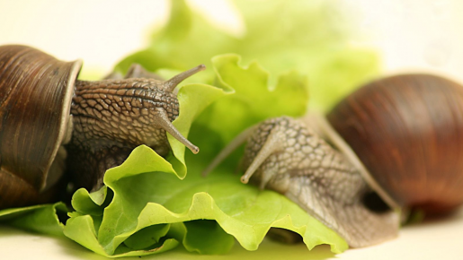 Улитки ахатины на листе салата
