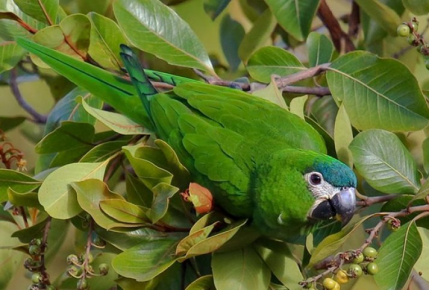 Малый синелобый ара