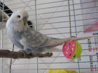 Опалиновый волнистый попугай