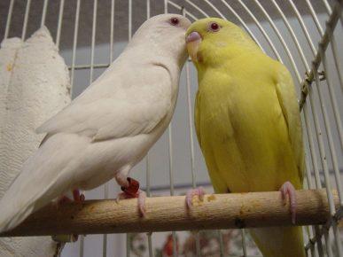 Попугаи лютино и альбино