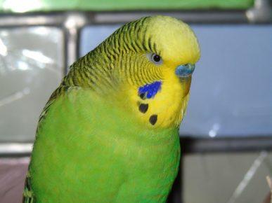 Желтолицый волнистый попугай