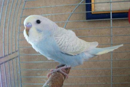 Седлистый волнистый попугай