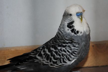 Антрацитовый волнистый попугай