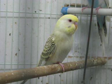 Лейсвинг волнистый попугай