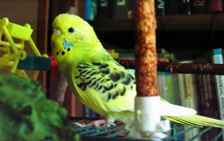 Крапчатый волнистый попугай