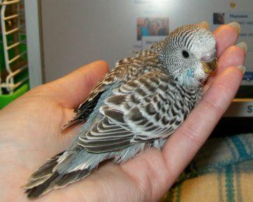 Коричневокрылый волнистый попугай