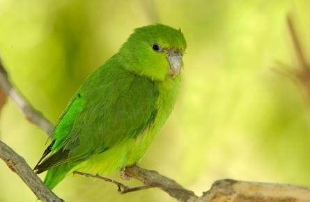 Мексиканский воробьиный попугайчик