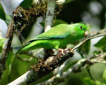 Зеленохвостый воробьиный попугай