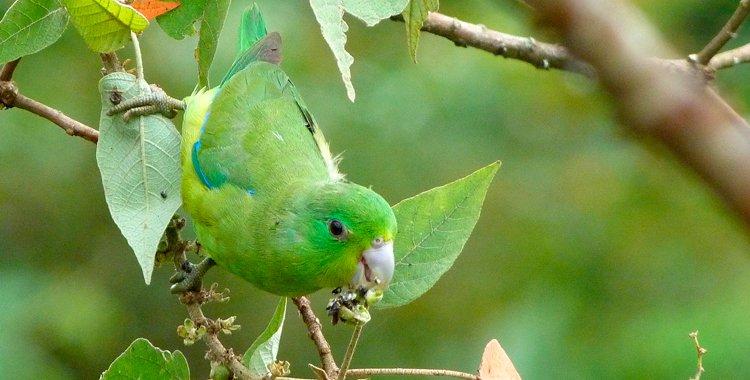 Синекрылый воробьиный попугайчик