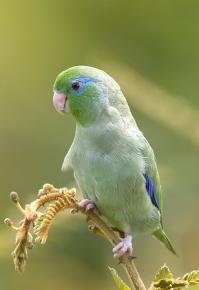 Очковый воробьиный попугайчик