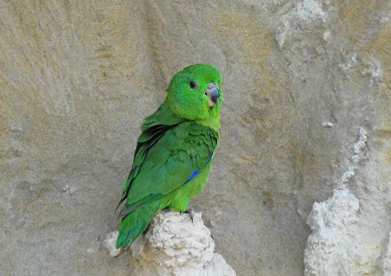 Темноклювый воробьиный попугай