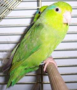 Мирный воробьиный попугайчик