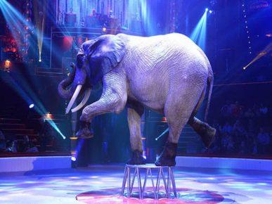слон в цирке