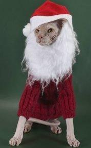 Сфинкс в новогоднем костюме