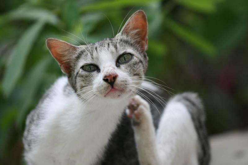 У кошки чешется подбородок