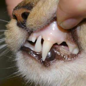 Бледные слизистые во рту кота