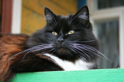Чёрный кот с белыми усами
