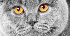 Глаза британской короткошёрстной кошки