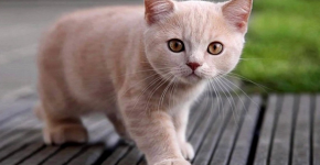 Молодой британский короткошёрстный кот