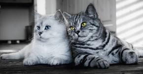 Британские коты с разным окрасом