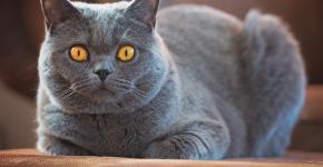 Взрослый самец британской кошки