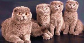 Кошка скоттиш-фолд с котятами