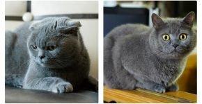 Уши шотландской и британской кошки