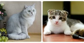 Телосложение британской и шотландской кошки