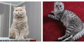 Лапы британской и шотландской кошки