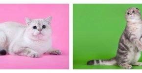 Хвост британской и шотландской кошки