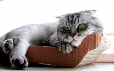 Особенности шотландского вислоухого кота
